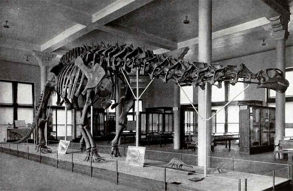 Apatosauro Brontosauro Scheletro