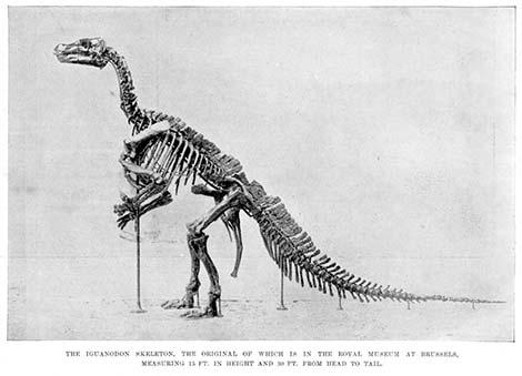 Iguanodonte Scheletro