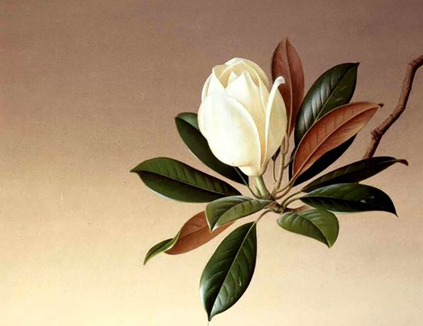 Angiosperme Magnolia