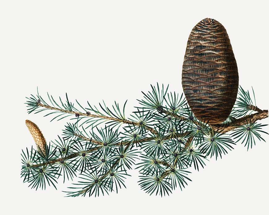 Gimnosperme Immagine Conifere